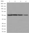 Western blot - Anti-EDIL3/DEL1 antibody [EPR12451] (ab190692)
