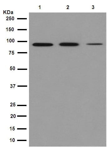 Western blot - Anti-XPB antibody [EPR14161] (ab190698)
