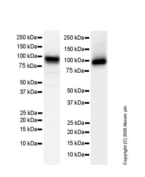Western blot - Anti-Human Nucleoli antibody [NM95] - Nucleolar Marker (ab190710)