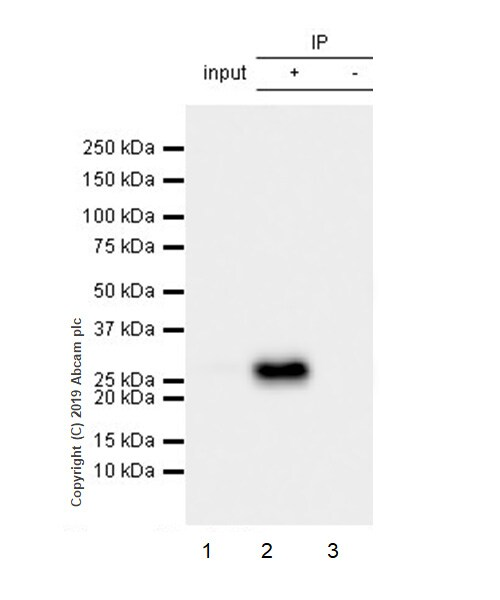 Immunoprecipitation - Anti-IL-27-A antibody [EPR18247-101] (ab190831)