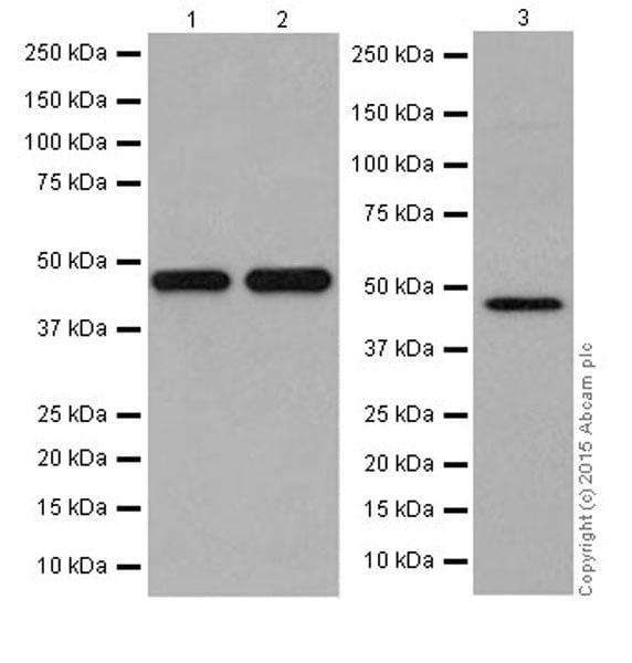 Western blot - Anti-KMT1B / SUV39H2 antibody [EPR18495] (ab190870)