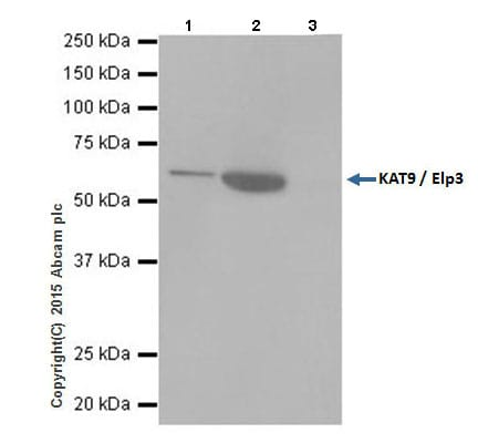 Immunoprecipitation - Anti-KAT9 / Elp3 antibody [EPR18472] (ab190907)