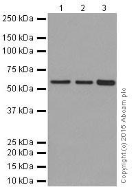 Western blot - Anti-KAT9 / Elp3 antibody [EPR18472] (ab190907)