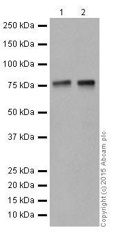 Western blot - Anti-KAT7 / Hbo1 / MYST2 antibody [EPR18473] (ab190908)