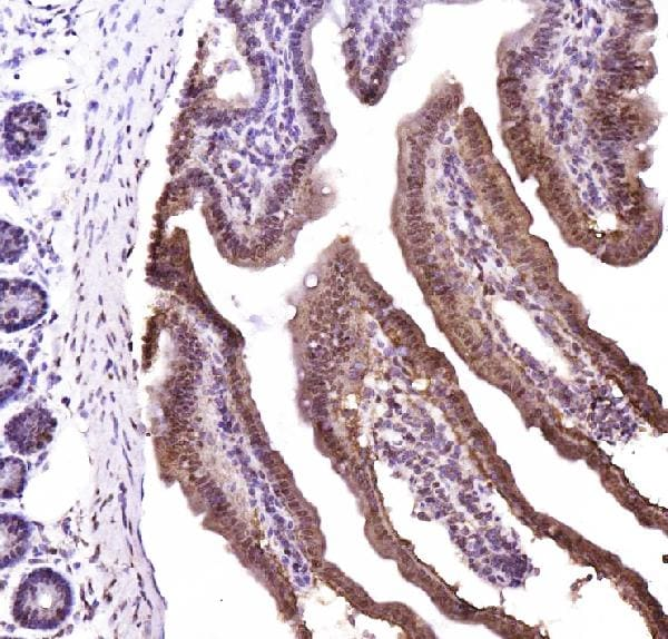 Immunohistochemistry (Frozen sections) - Anti-CTBP2 antibody - C-terminal (ab190933)