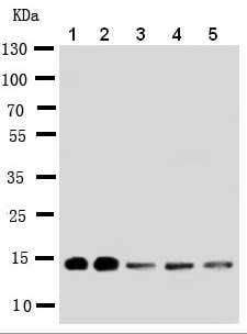 Western blot - Anti-liver FABP antibody - N-terminal (ab190958)