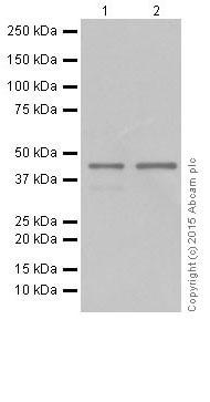 Western blot - Anti-TDP43 antibody [EPR18554] (ab190963)