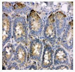 Immunohistochemistry (Frozen sections) - Anti-TRAM1 antibody - C-terminal (ab190982)