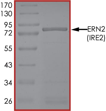 SDS-PAGE - Recombinant human IRE1b protein (ab190994)