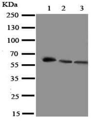 Western blot - Anti-Smad4 antibody - N-terminal (ab191026)