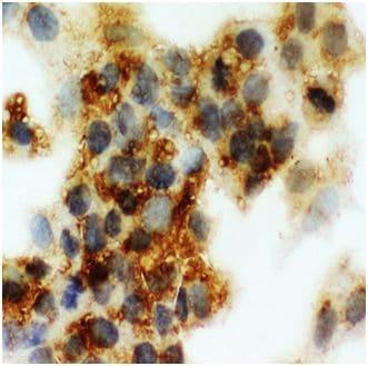 Immunocytochemistry - Anti-Cortisol Binding Globulin antibody - N-terminal (ab191053)