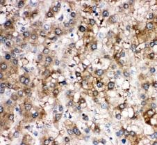 Immunohistochemistry (Formalin/PFA-fixed paraffin-embedded sections) - Anti-Cortisol Binding Globulin antibody - N-terminal (ab191053)