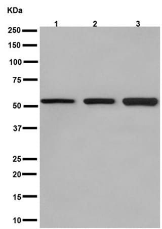 Western blot - Anti-Glucose Transporter GLUT3 antibody [EPR10508(N)] - N-terminal (ab191071)