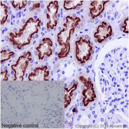 Immunohistochemistry (Formalin/PFA-fixed paraffin-embedded sections) - Anti-Cubilin antibody [EPR16259-27] - C-terminal (ab191073)
