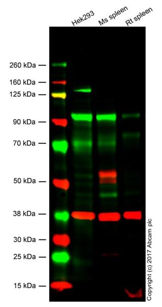 Western blot - Anti-KMT6 / EZH2 antibody [EPR9307(2)] - N-terminal (ab191080)