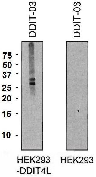 Western blot - Anti-DDIT4L/REDD2 antibody [DDIT-03] - N-terminal (ab191096)