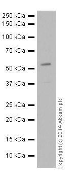 Western blot - Anti-VMAT2 antibody (ab191121)