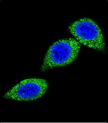 Immunocytochemistry/ Immunofluorescence - Anti-ASS1 antibody (ab191165)