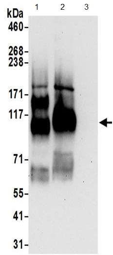 Western blot - Anti-Endoglycan antibody (ab191173)
