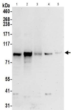 Western blot - Anti-CNNM4 antibody (ab191207)