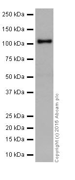 Western blot - Anti-PARP1 antibody [EPR18461] (ab191217)