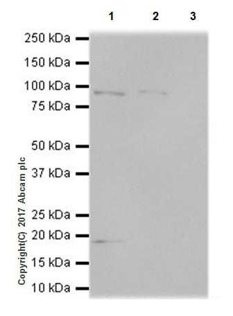 Immunoprecipitation - Anti-KMT6 / EZH2 antibody [EPR20108] - ChIP Grade (ab191250)