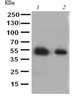 Western blot - Anti-Glucose Transporter 8 antibody - C-terminal (ab191269)