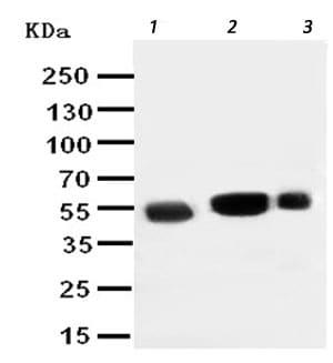 Western blot - Anti-EAAT3 antibody - N-terminal (ab191290)