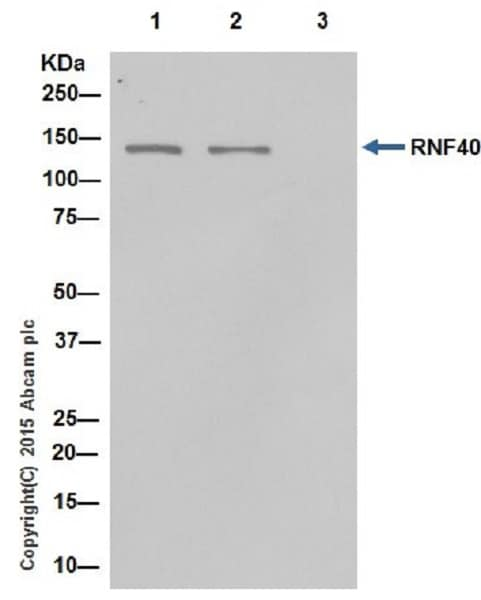 Immunoprecipitation - Anti-RNF40 antibody [EPR18511] (ab191309)