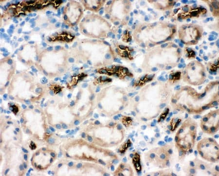 Immunohistochemistry (Frozen sections) - Anti-SLC12A1/NKCC2 antibody - N-terminal (ab191315)