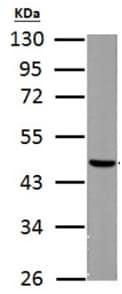 Western blot - Anti-FH/Fumarase antibody (ab191367)