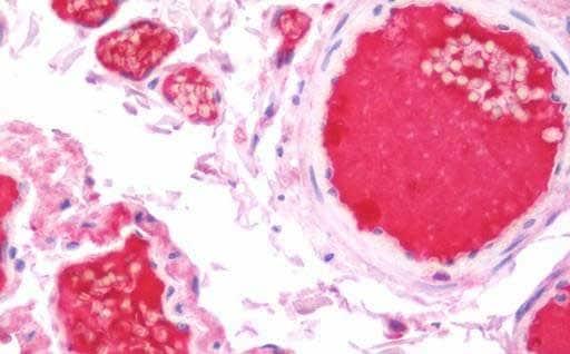 Immunohistochemistry (Formalin/PFA-fixed paraffin-embedded sections) - Anti-Kininogen 1 antibody (ab191370)