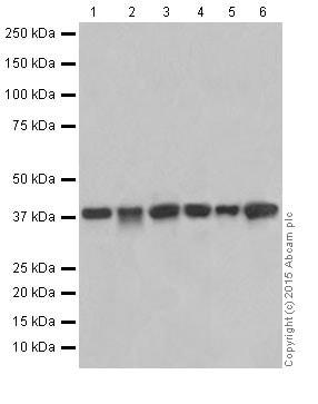 Western blot - Anti-SIRT6 antibody [EPR18463] (ab191385)