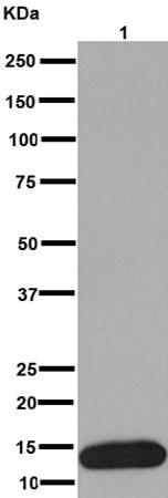 Western blot - Anti-C10 antibody [EPR14614] (ab191400)