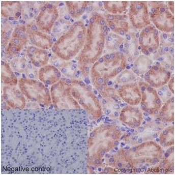 Immunohistochemistry (Formalin/PFA-fixed paraffin-embedded sections) - Anti-OATP5A1 antibody [EPR14395(2)] (ab191412)