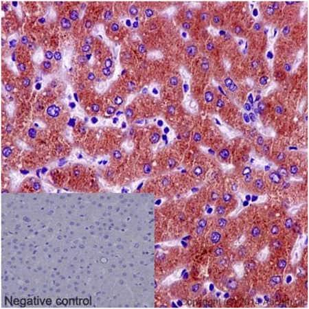Immunohistochemistry (Formalin/PFA-fixed paraffin-embedded sections) - Anti-PAH antibody [EPR12381] - C-terminal (ab191415)