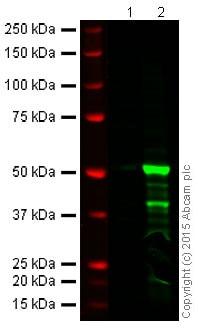 Western blot - Anti-FOXP3 antibody [EPR15038-69] (ab191416)