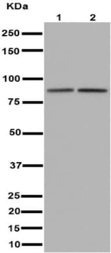 Western blot - Anti-ACAP2 antibody [EPR15721] (ab191424)