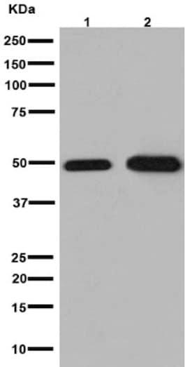 Western blot - Anti-NXN/NRX antibody [EPR15177] (ab191429)