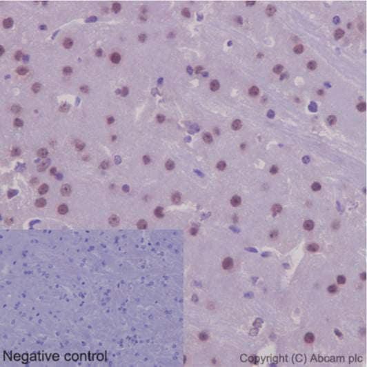 Immunohistochemistry (Formalin/PFA-fixed paraffin-embedded sections) - Anti-NXN/NRX antibody [EPR15177] (ab191429)