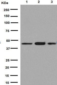 Western blot - Anti-AHA1 antibody [EPR13888] - C-terminal (ab191432)