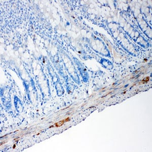 Immunohistochemistry (Formalin/PFA-fixed paraffin-embedded sections) - Anti-PC1/3 antibody (ab191452)