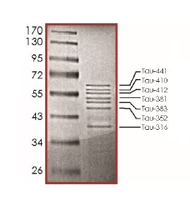 SDS-PAGE - Recombinant Human Tau441 protein (ab191460)