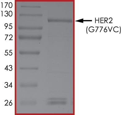 SDS-PAGE - Recombinant human ErbB 2 (mutated G776 V + G776 C) protein (Cytoplasmic domain) (ab191466)