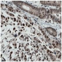 Immunohistochemistry (Formalin/PFA-fixed paraffin-embedded sections) - Anti-ATF3 [CL1685] antibody (ab191513)