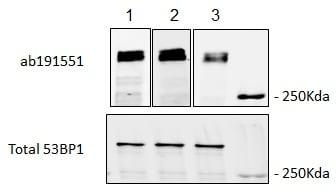 Western blot - Anti-53BP1 (phospho T1609 + S1618) antibody (ab191551)