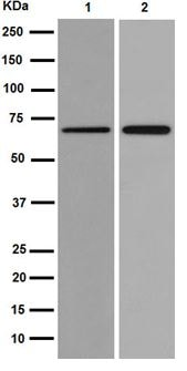 Western blot - Anti-FUT8 antibody [EPR14149] (ab191571)
