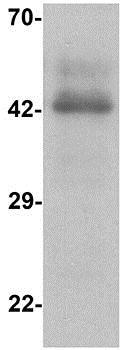 Western blot - Anti-CCR7 antibody (ab191575)