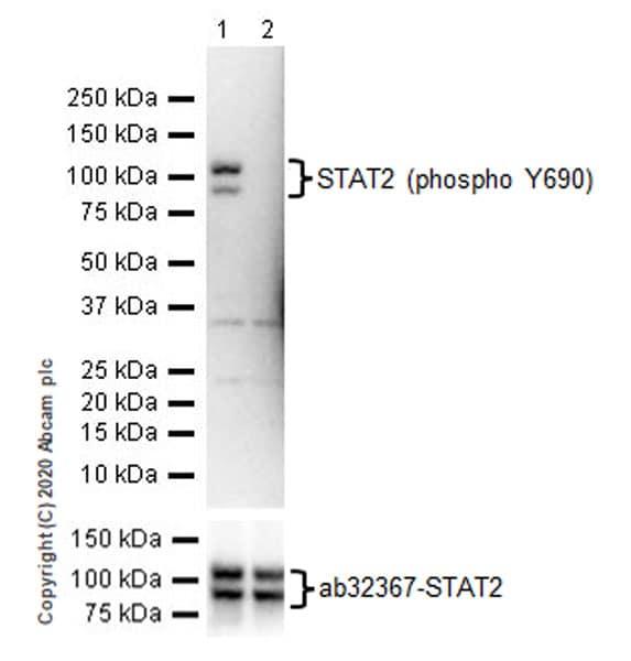Western blot - Anti-STAT2 (phospho Y690) antibody (ab191601)
