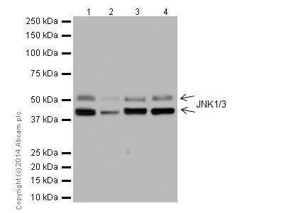 Western blot - Anti-JNK1 + JNK3 antibody [EPR16797-194] (ab191603)